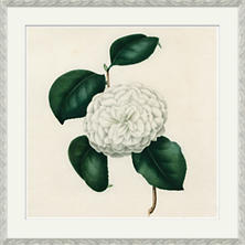 Camellias 4 Wall Art